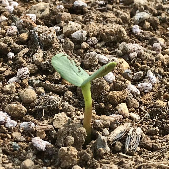 ヒマワリの発芽