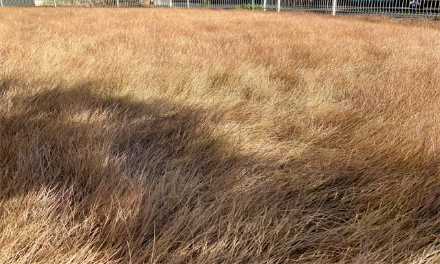 真冬の芝刈り