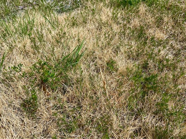 除草剤を撒かなかった芝生