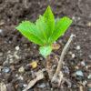 アジサイの芽吹き。冬は葉が落ちても枯れ木にあらず