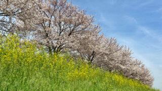 2021年春 新河岸川・蓮光寺周辺の桜