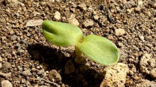 モネのヒマワリ 発芽