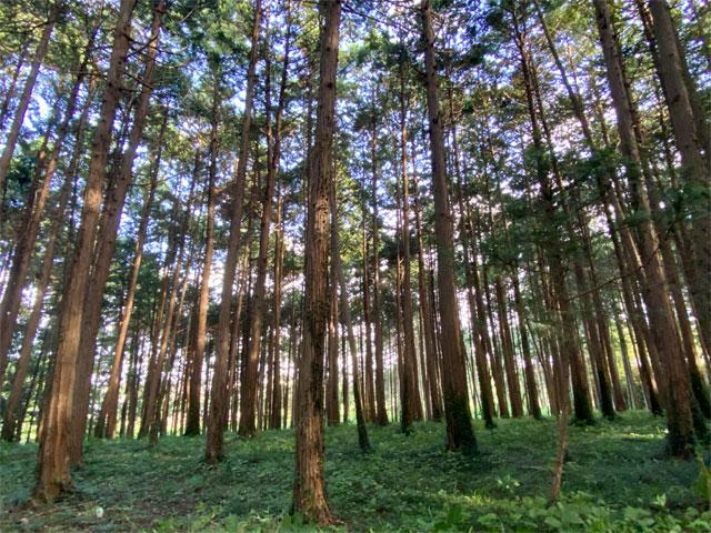 高麗丘陵の杉林
